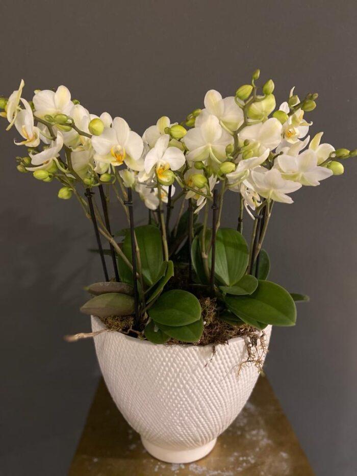 orchidée piantate milano